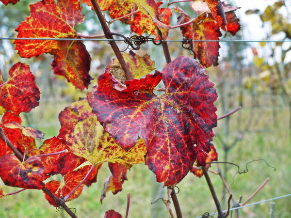 葡萄の葉.jpg