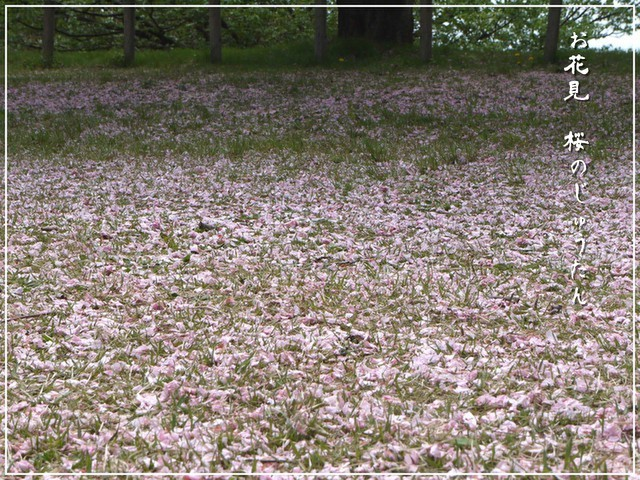 桜のじゅうたん.jpg